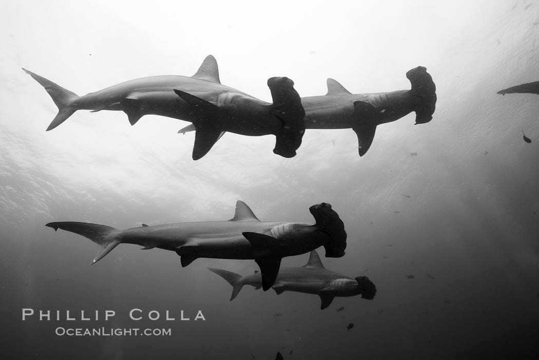 Hammerhead sharks, schooling, black and white / grainy. Darwin Island, Galapagos Islands, Ecuador, Sphyrna lewini, natural history stock photograph, photo id 16254
