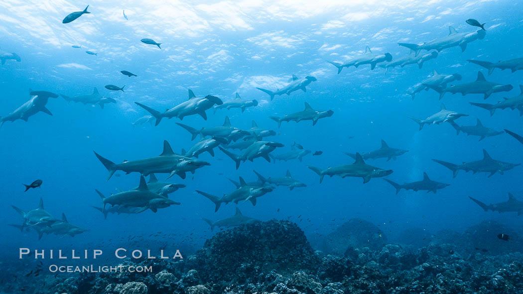 Hammerhead sharks, schooling, black and white / grainy. Wolf Island, Galapagos Islands, Ecuador, Sphyrna lewini, natural history stock photograph, photo id 16260