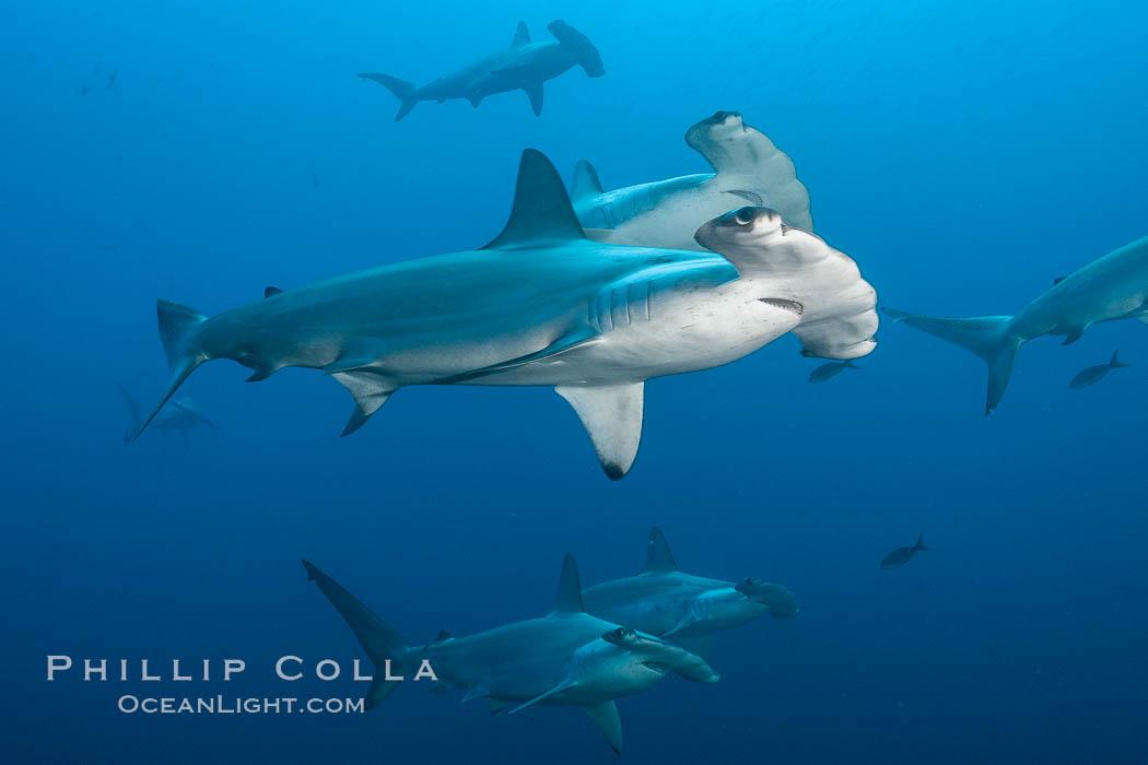 Hammerhead sharks, schooling. Wolf Island, Galapagos Islands, Ecuador, Sphyrna lewini, natural history stock photograph, photo id 16253
