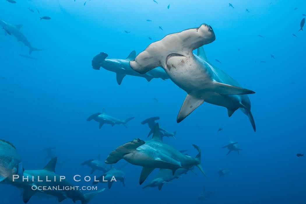 Hammerhead sharks, schooling. Wolf Island, Galapagos Islands, Ecuador, Sphyrna lewini, natural history stock photograph, photo id 16257