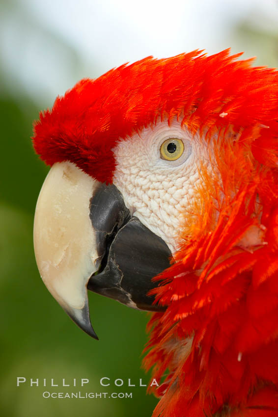 Scarlet macaw., Ara macao, natural history stock photograph, photo id 12541