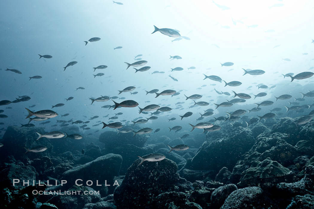 Schooling fish, black and white / grainy. Wolf Island, Galapagos Islands, Ecuador, natural history stock photograph, photo id 16374