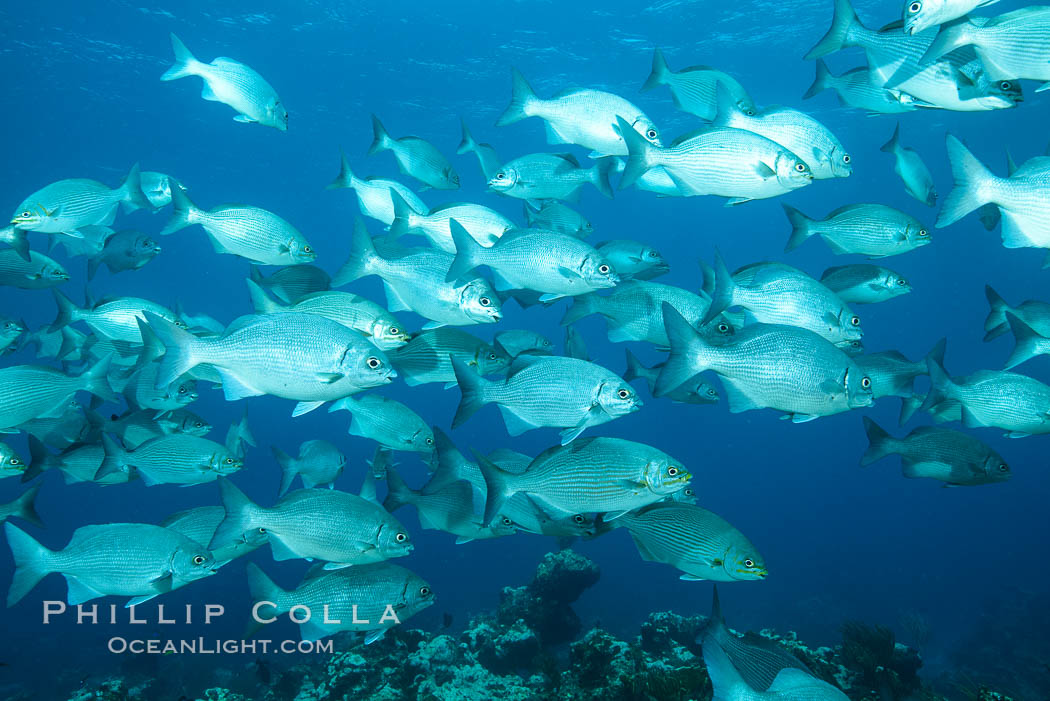 Schooling fish over coral reef, Grand Cayman Island. Grand Cayman, Cayman Islands, natural history stock photograph, photo id 32061
