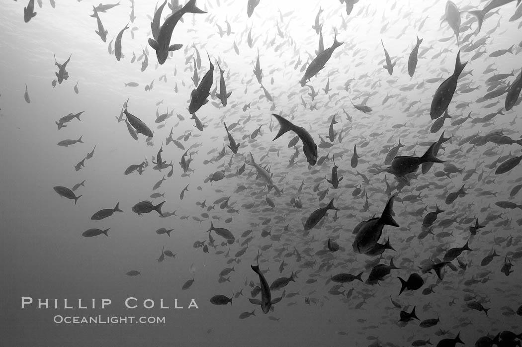 Schooling fish, black and white / grainy. Wolf Island, Galapagos Islands, Ecuador, natural history stock photograph, photo id 16375