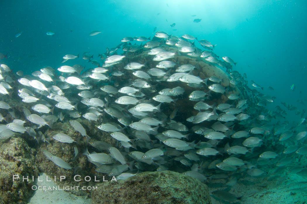 Schooling fish in the Sea of Cortez. Sea of Cortez, Baja California, Mexico, natural history stock photograph, photo id 27567