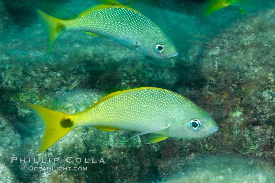 Schooling fish with motion blur, Sea of Cortez, Baja California, Mexico. Sea of Cortez, Baja California, Mexico, natural history stock photograph, photo id 27558