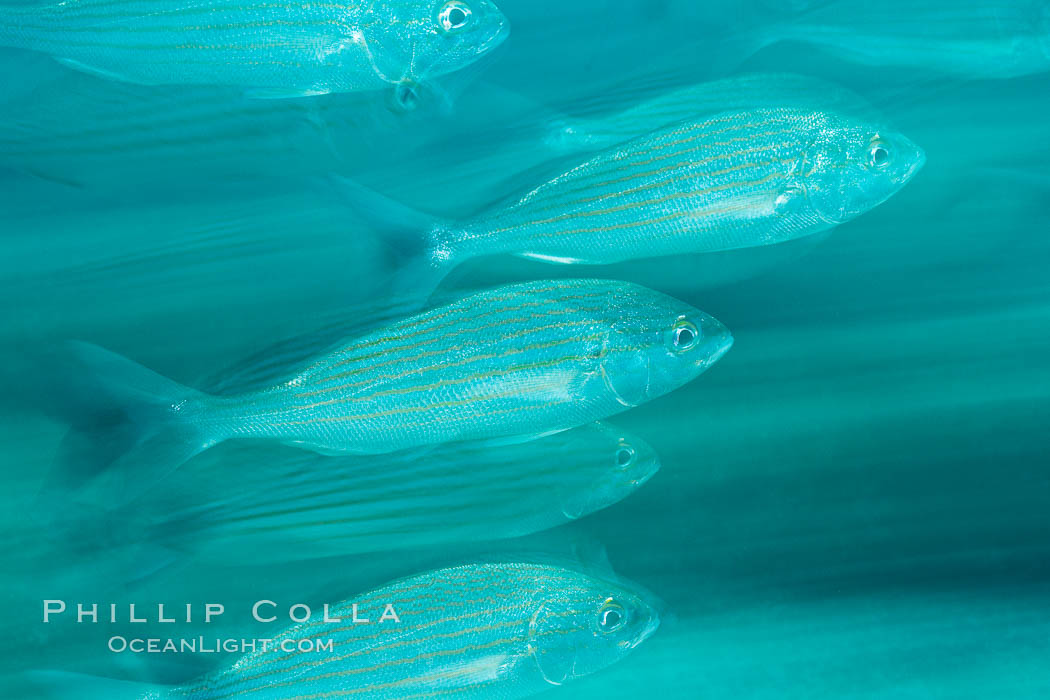 Schooling fish with motion blur, Sea of Cortez, Baja California, Mexico. Sea of Cortez, Baja California, Mexico, natural history stock photograph, photo id 27552
