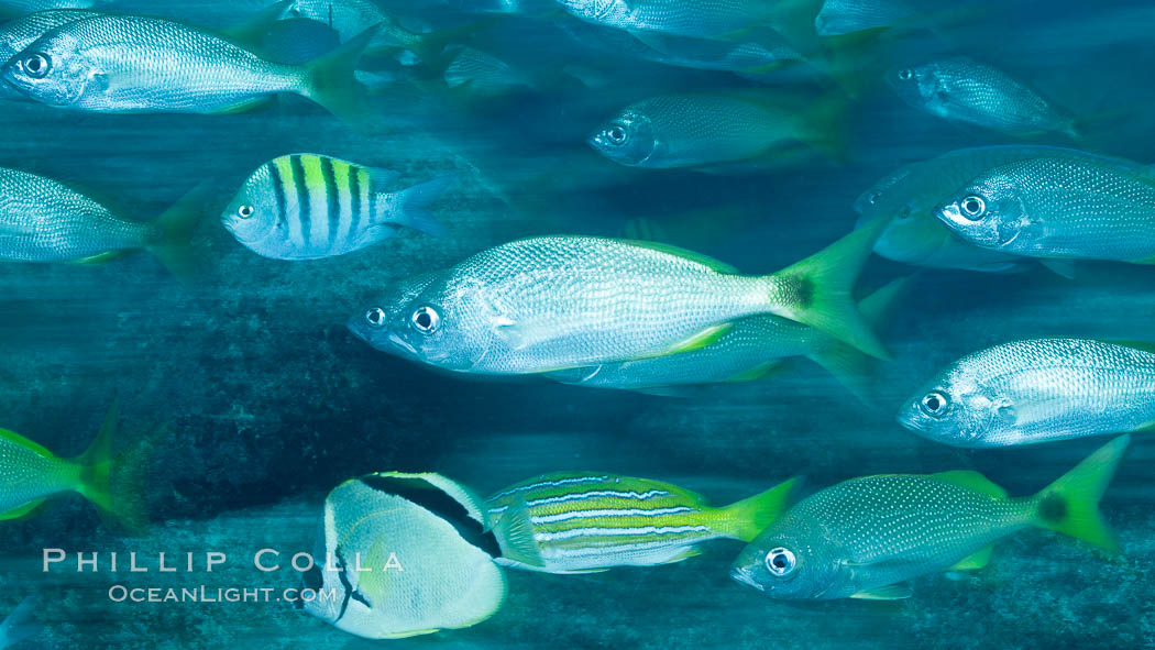 Schooling fish with motion blur, Sea of Cortez, Baja California, Mexico. Sea of Cortez, Baja California, Mexico, natural history stock photograph, photo id 27559