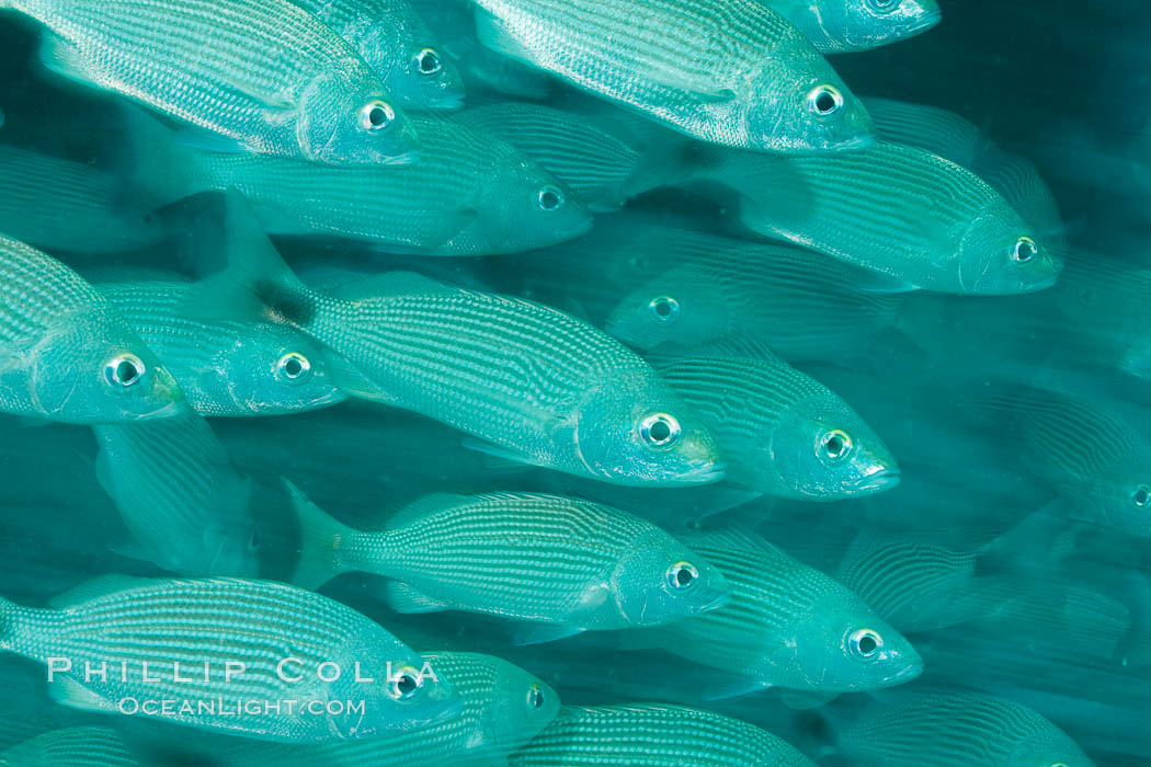 Schooling fish with motion blur, Sea of Cortez, Baja California, Mexico., natural history stock photograph, photo id 27553