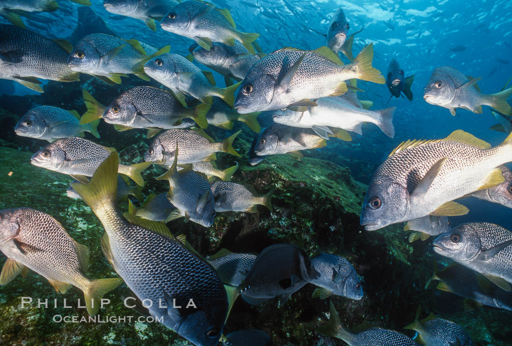Schooling fishes in the Galapagos Islands. Ecuador, natural history stock photograph, photo id 36350