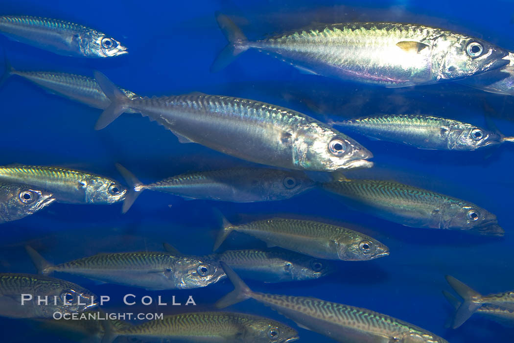 Pacific mackerel.  Long exposure shows motion as blur.  Mackerel are some of the fastest fishes in the ocean, with smooth streamlined torpedo-shaped bodies, they can swim hundreds of miles in a year., Scomber japonicus, natural history stock photograph, photo id 14024