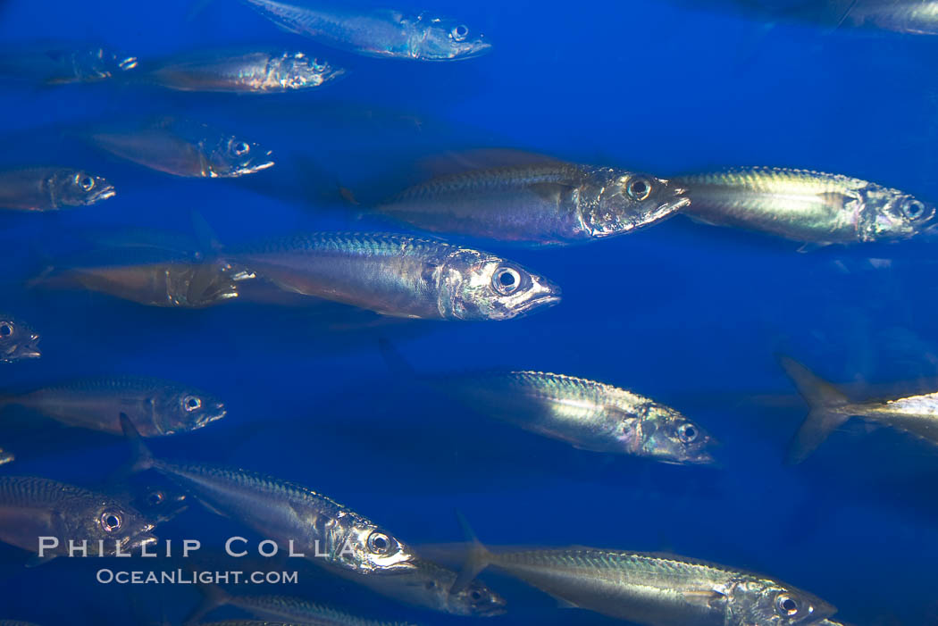 Pacific mackerel.  Long exposure shows motion as blur.  Mackerel are some of the fastest fishes in the ocean, with smooth streamlined torpedo-shaped bodies, they can swim hundreds of miles in a year., Scomber japonicus, natural history stock photograph, photo id 14021