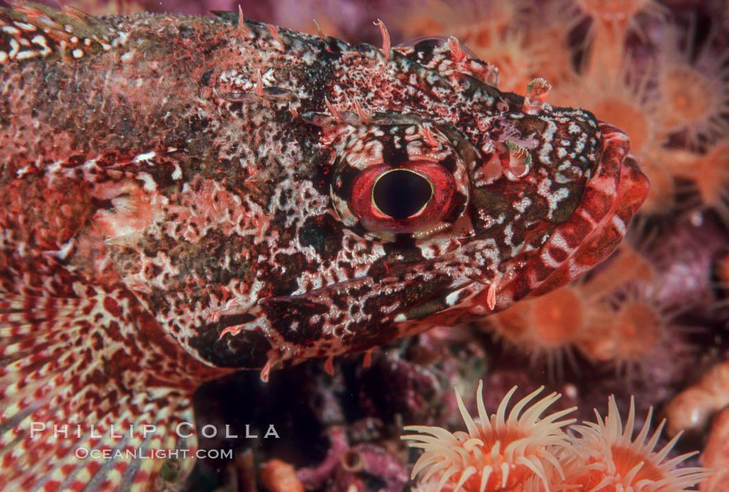 Rainbow scorpionfish, juvenile. Guadalupe Island (Isla Guadalupe), Baja California, Mexico, Scorpaenodes xyris, natural history stock photograph, photo id 04616