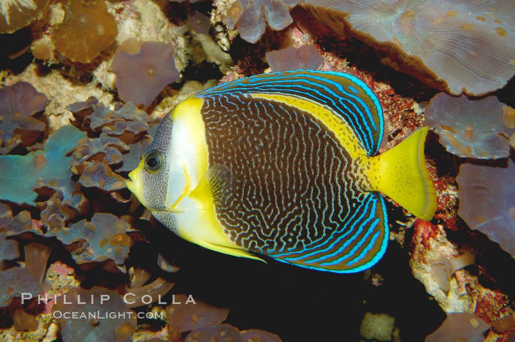 Scribbled angelfish., Chaetodontoplus duboulayi, natural history stock photograph, photo id 08724