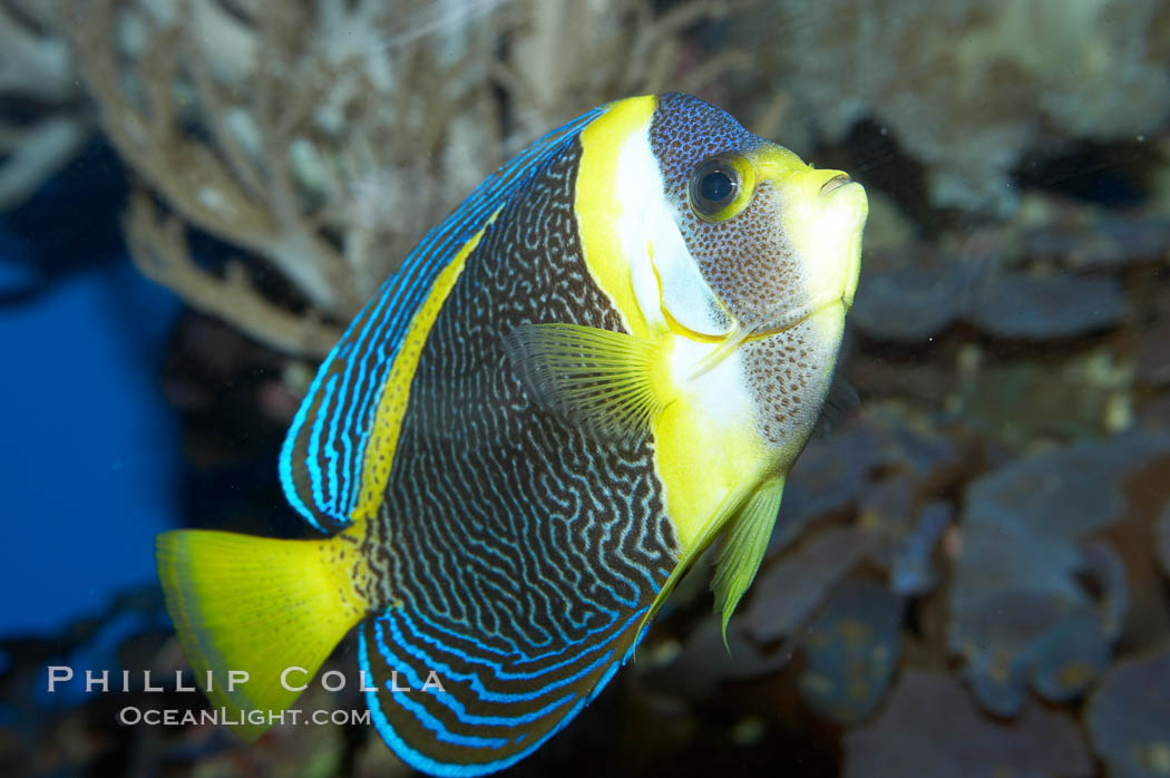 Scribbled angelfish., Chaetodontoplus duboulayi, natural history stock photograph, photo id 11837