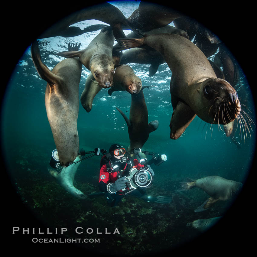 SCUBA Diver and Steller Sea Lions Underwater,  underwater photographer, Hornby Island, British Columbia, Canada., Eumetopias jubatus, natural history stock photograph, photo id 36118