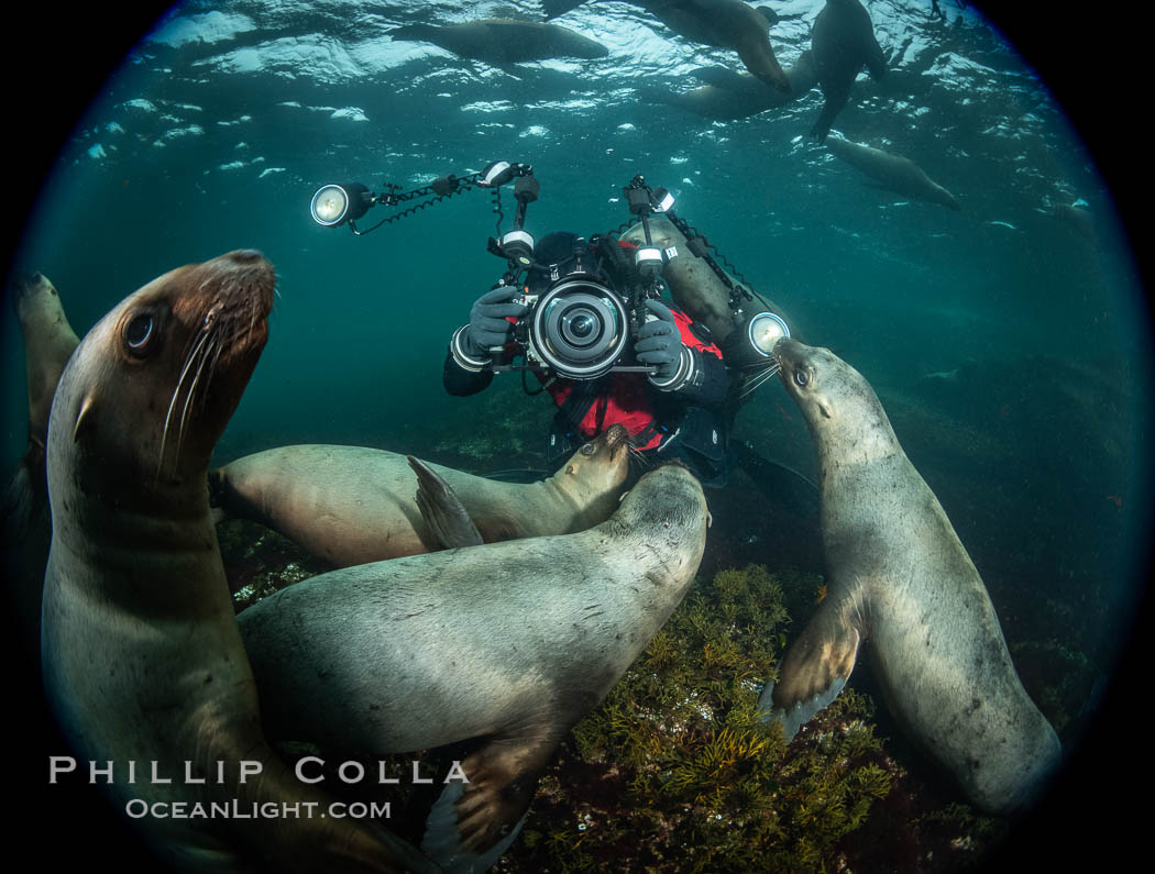 SCUBA Diver and Steller Sea Lions Underwater,  underwater photographer, Hornby Island, British Columbia, Canada., Eumetopias jubatus, natural history stock photograph, photo id 36122