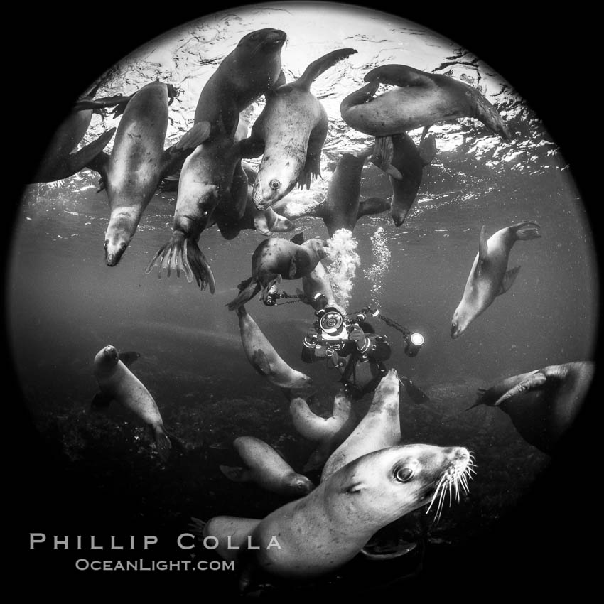 SCUBA Diver and Steller Sea Lions Underwater,  underwater photographer, Hornby Island, British Columbia, Canada, Eumetopias jubatus, natural history stock photograph, photo id 36119