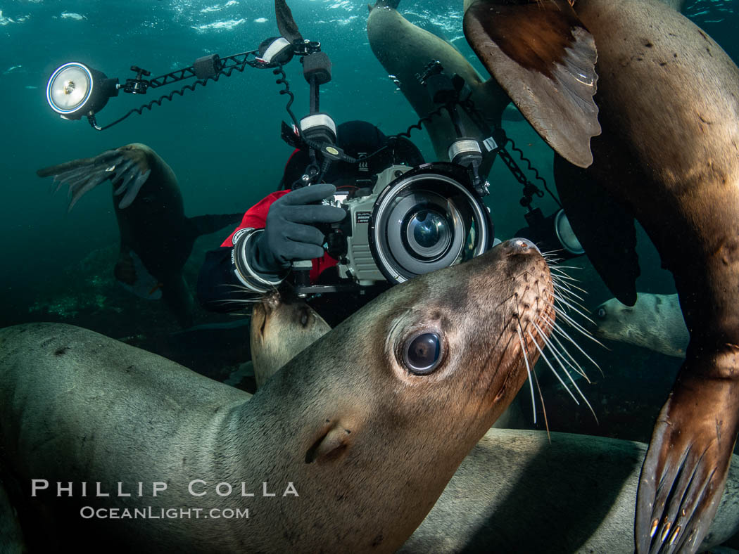 SCUBA Diver and Steller Sea Lions Underwater,  underwater photographer, Hornby Island, British Columbia, Canada., Eumetopias jubatus, natural history stock photograph, photo id 36131