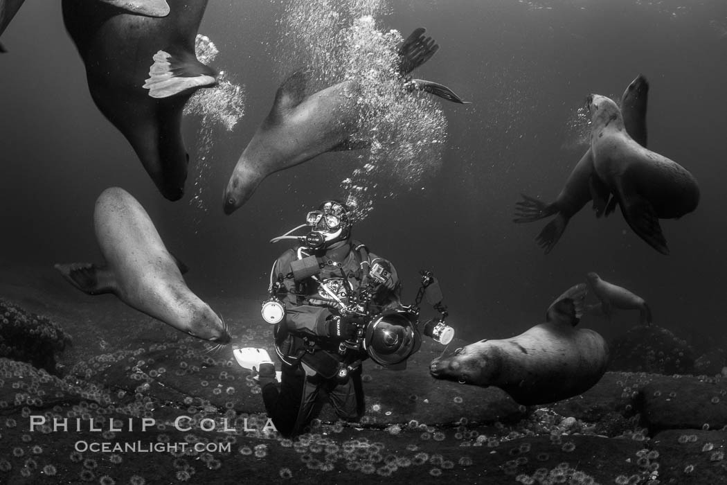 SCUBA Diver and Steller Sea Lions Underwater,  underwater photographer, Hornby Island, British Columbia, Canada. Norris Rocks, Eumetopias jubatus, natural history stock photograph, photo id 36135