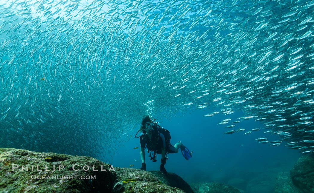SCUBA diver, sardines and scad, Los Islotes, Sea of Cortez, Mexico. Sea of Cortez, Baja California, Mexico, Zalophus californianus, natural history stock photograph, photo id 31298
