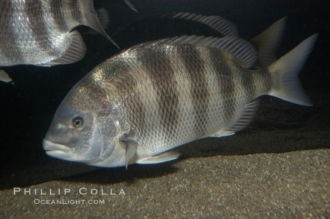 Image 11046, Sheepshead., Archosargus probatocephalus, Phillip Colla, all rights reserved worldwide. Keywords: africa, animal, cichlid, creature, fish, freshwater fish, marine, nature, ocean, scup, sea, stenotomus chrysops, teleost fish, underwater, wildlife.