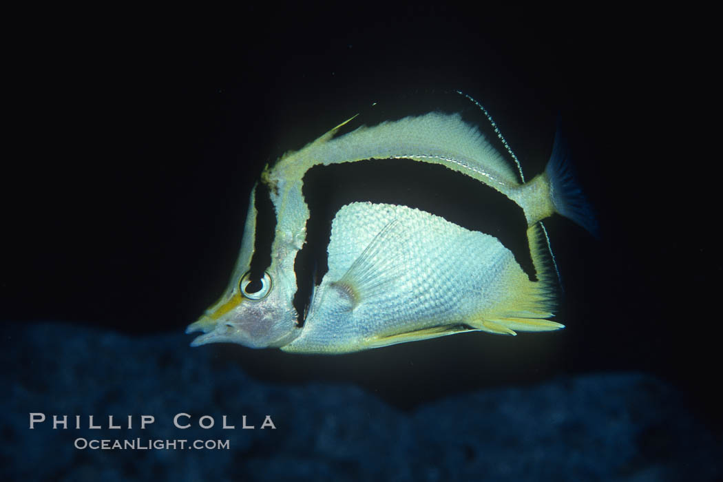 Scythe-mark butterflyfish. Guadalupe Island (Isla Guadalupe), Baja California, Mexico, Prognathodes falcifer, natural history stock photograph, photo id 04620