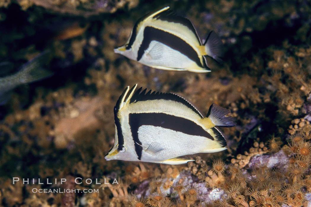 Scythe-mark butterflyfish. Guadalupe Island (Isla Guadalupe), Baja California, Mexico, Prognathodes falcifer, natural history stock photograph, photo id 04615