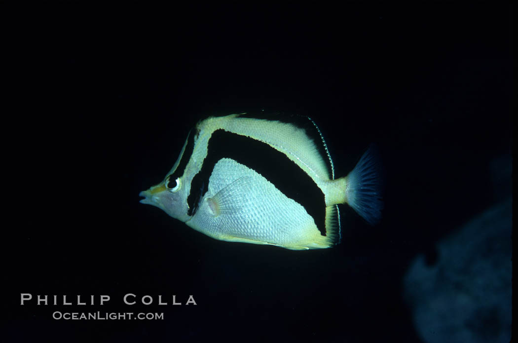 Scythe-mark butterflyfish. Guadalupe Island (Isla Guadalupe), Baja California, Mexico, Prognathodes falcifer, natural history stock photograph, photo id 04621
