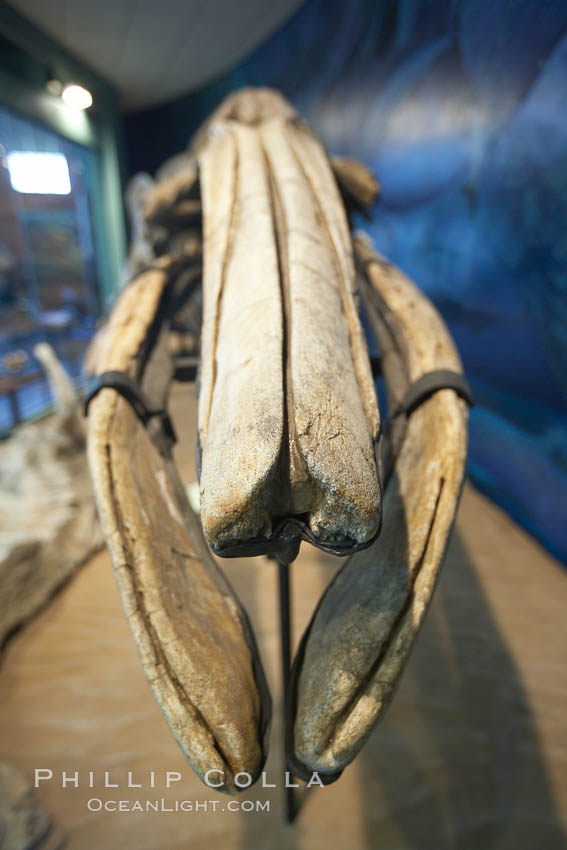 Gray whale skeleton on display at the San Diego Natural History Museum. Balboa Park, San Diego, California, USA, natural history stock photograph, photo id 22185