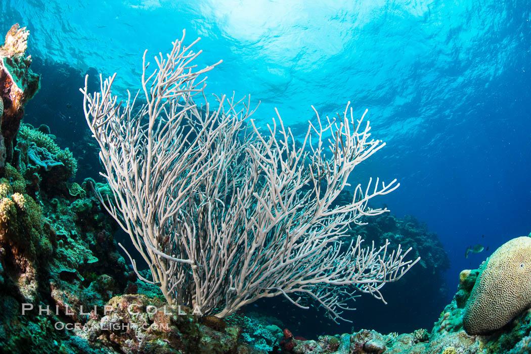 Sea fan captures passing planktonic food in ocean currents, Fiji. Vatu I Ra Passage, Bligh Waters, Viti Levu  Island, Fiji, Ellisella, natural history stock photograph, photo id 31642