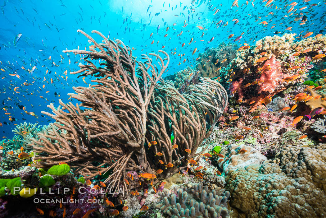 Branching whip coral (Ellisella sp) captures passing planktonic food in ocean currents, Fiji. Fiji, Pseudanthias, Ellisella, natural history stock photograph, photo id 31324