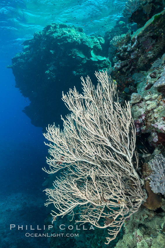 Branching whip coral (Ellisella sp.) captures passing planktonic food in ocean currents, Fiji. Fiji, Ellisella, natural history stock photograph, photo id 31424
