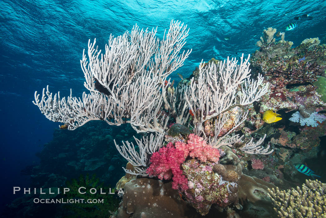 Branching whip coral (Ellisella sp.) captures passing planktonic food in ocean currents, Mount Mutiny, Bligh Waters, Fiji. Vatu I Ra Passage, Viti Levu  Island, Ellisella, natural history stock photograph, photo id 31369