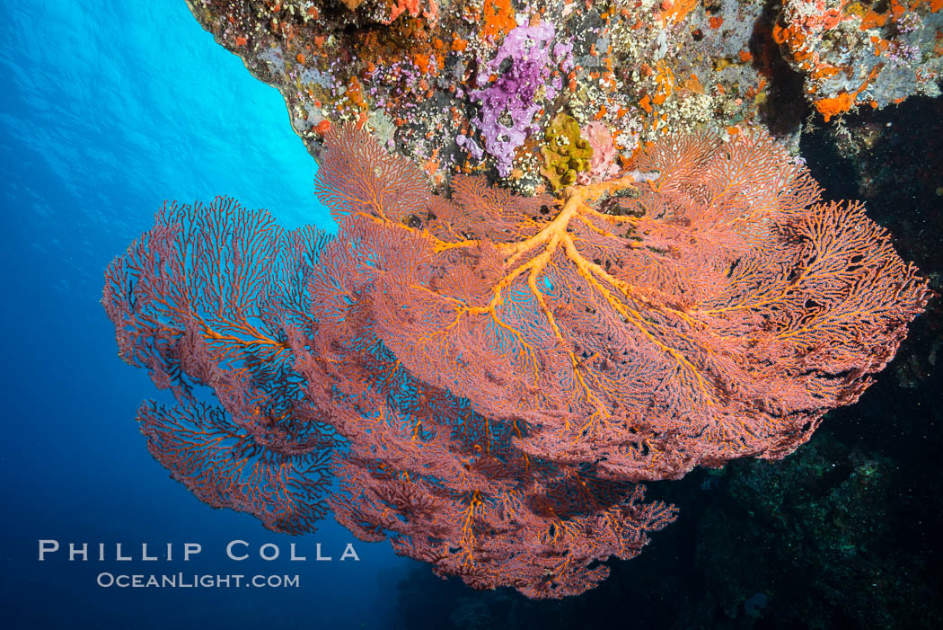 Plexauridae sea fan or gorgonian on coral reef.  This gorgonian is a type of colonial alcyonacea soft coral that filters plankton from passing ocean currents. Vatu I Ra Passage, Bligh Waters, Viti Levu  Island, Fiji, Gorgonacea, Plexauridae, natural history stock photograph, photo id 31654