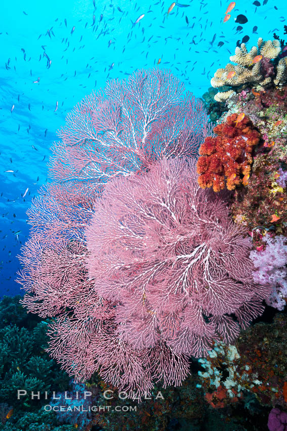 Plexauridae sea fan or gorgonian on coral reef.  This gorgonian is a type of colonial alcyonacea soft coral that filters plankton from passing ocean currents. Namena Marine Reserve, Namena Island, Fiji, Gorgonacea, Plexauridae, natural history stock photograph, photo id 31364