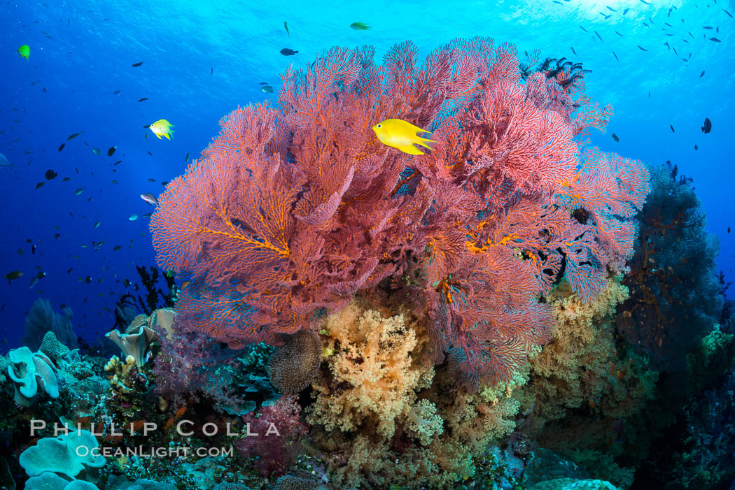 Sea fan or gorgonian on coral reef.  This gorgonian is a type of colonial alcyonacea soft coral that filters plankton from passing ocean currents. Vatu I Ra Passage, Bligh Waters, Viti Levu  Island, Fiji, Dendronephthya, Gorgonacea, natural history stock photograph, photo id 31343