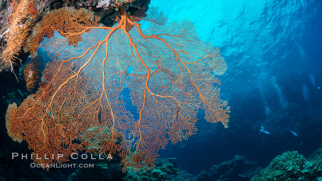 Plexauridae sea fan or gorgonian on coral reef.  This gorgonian is a type of colonial alcyonacea soft coral that filters plankton from passing ocean currents. Vatu I Ra Passage, Bligh Waters, Viti Levu  Island, Fiji, Gorgonacea, Plexauridae, natural history stock photograph, photo id 31635