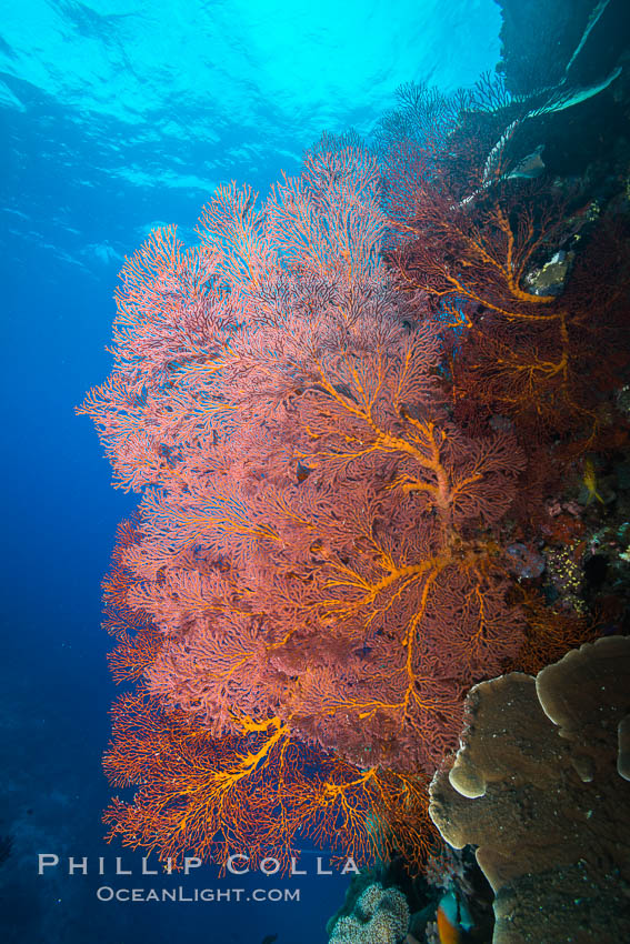 Sea fan or gorgonian on coral reef.  This gorgonian is a type of colonial alcyonacea soft coral that filters plankton from passing ocean currents. Vatu I Ra Passage, Bligh Waters, Viti Levu  Island, Fiji, Gorgonacea, Plexauridae, natural history stock photograph, photo id 31671