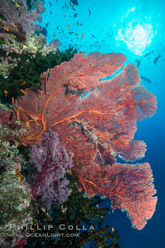 Plexauridae sea fan or gorgonian on coral reef.  This gorgonian is a type of colonial alcyonacea soft coral that filters plankton from passing ocean currents. Namena Marine Reserve, Namena Island, Fiji, Gorgonacea, Plexauridae, natural history stock photograph, photo id 31421
