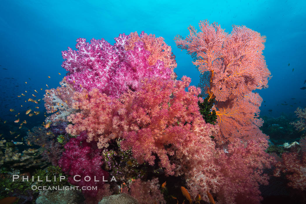 Image 31438, Sea fan gorgonian and dendronephthya soft coral on coral reef.  Both the sea fan gorgonian and the dendronephthya  are type of alcyonacea soft corals that filter plankton from passing ocean currents. Fiji, Dendronephthya sp., Gorgonacea, Phillip Colla, all rights reserved worldwide. Keywords: alcyonacea, animal, animalia, anthozoa, carnation coral, cnidaria, coral, coral reef, dendronephthya, fiji, fiji islands, fijian islands, gorgonacea, gorgonian, island, marine, marine invertebrate, nature, nephtheidae, oceania, octocorallia, pacific ocean, reef, sea fan, soft coral, south pacific, tree coral, tropical, underwater.
