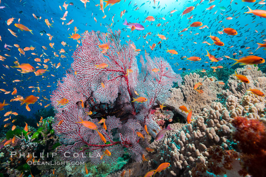 Sea fan gorgonian and schooling Anthias on pristine and beautiful coral reef, Fiji., Pseudanthias, Gorgonacea, Plexauridae, natural history stock photograph, photo id 31428