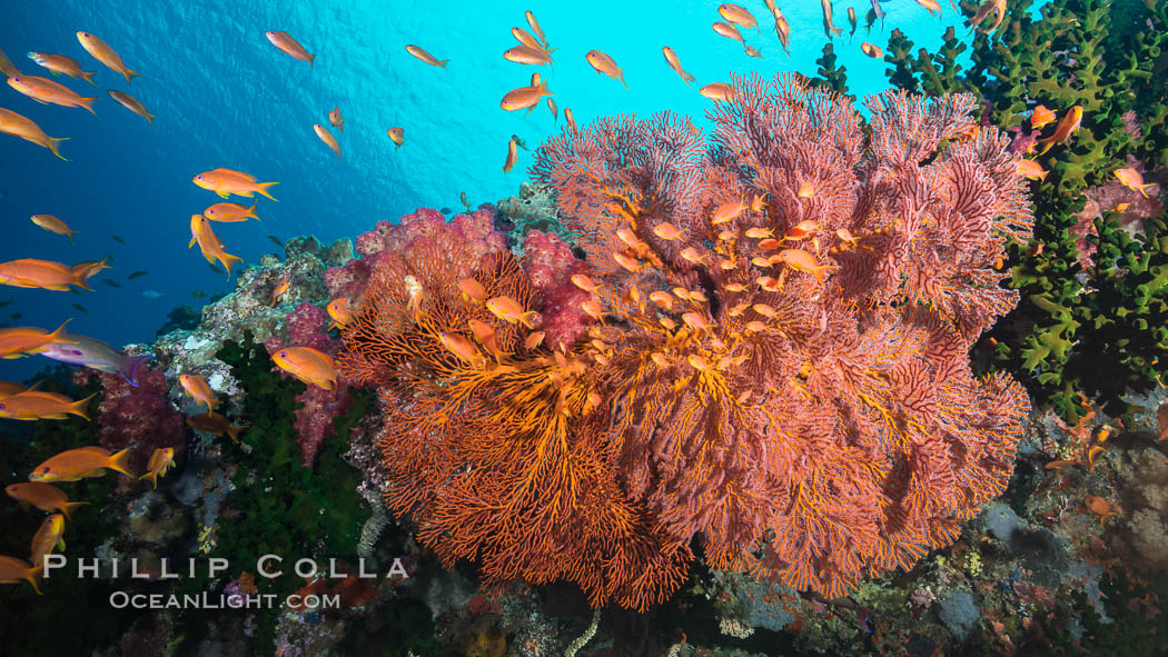 Plexauridae sea fan gorgonian and schooling Anthias on pristine and beautiful coral reef, Fiji., Pseudanthias, Gorgonacea, Plexauridae, natural history stock photograph, photo id 31620