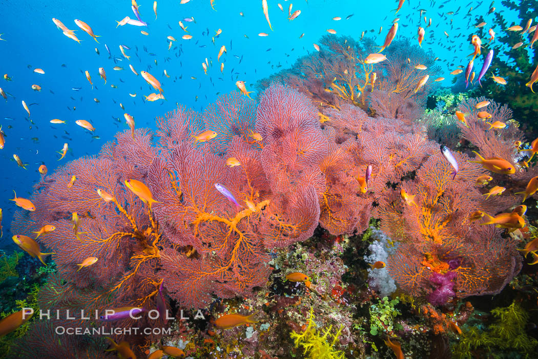 Plexauridae sea fan gorgonian and schooling Anthias on pristine and beautiful coral reef, Fiji., Pseudanthias, Gorgonacea, Plexauridae, natural history stock photograph, photo id 31435