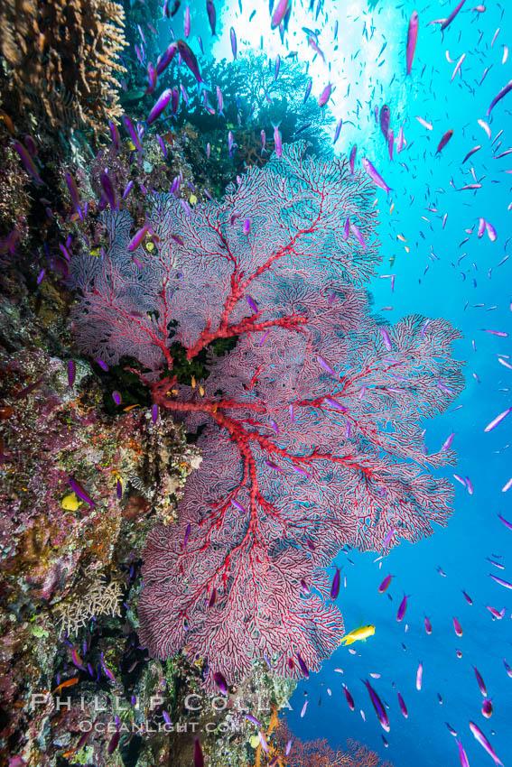 Sea fan gorgonian and schooling Anthias on pristine and beautiful coral reef, Fiji. Wakaya Island, Lomaiviti Archipelago, Fiji, Pseudanthias, Gorgonacea, natural history stock photograph, photo id 31397