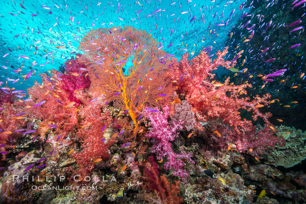 Beautiful South Pacific coral reef, with gorgonian sea fans, schooling anthias fish and colorful dendronephthya soft corals, Fiji. Gau Island, Lomaiviti Archipelago, Dendronephthya, Pseudanthias, Gorgonacea, Plexauridae, natural history stock photograph, photo id 31522