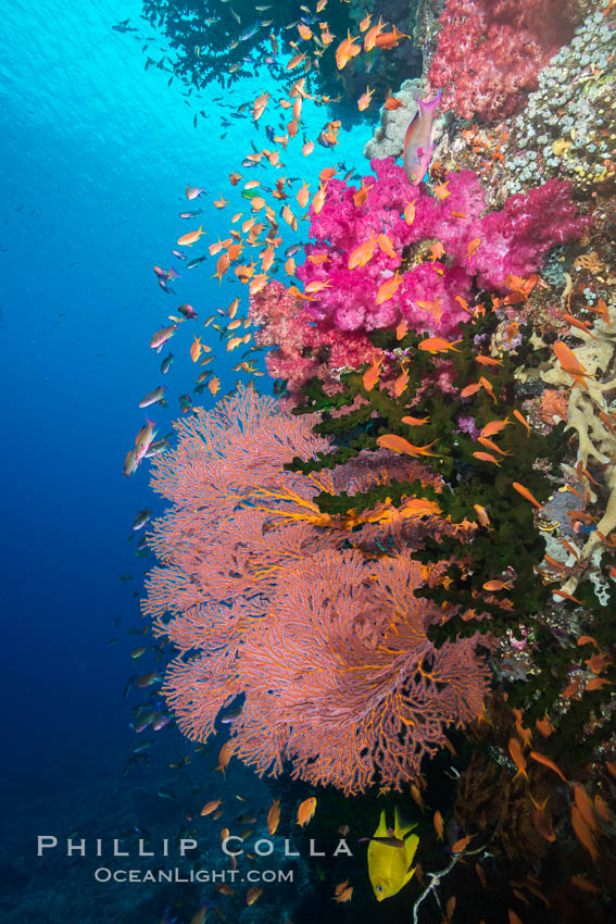 Beautiful South Pacific coral reef, with gorgonian sea fans, schooling anthias fish and colorful dendronephthya soft corals, Fiji., Dendronephthya, Pseudanthias, Gorgonacea, Plexauridae, natural history stock photograph, photo id 31618