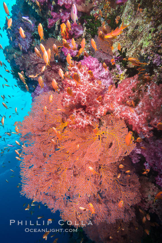 Beautiful South Pacific coral reef, with gorgonian sea fans, schooling anthias fish and colorful dendronephthya soft corals, Fiji. Vatu I Ra Passage, Bligh Waters, Viti Levu  Island, Fiji, Dendronephthya, Pseudanthias, Gorgonacea, Plexauridae, natural history stock photograph, photo id 31664