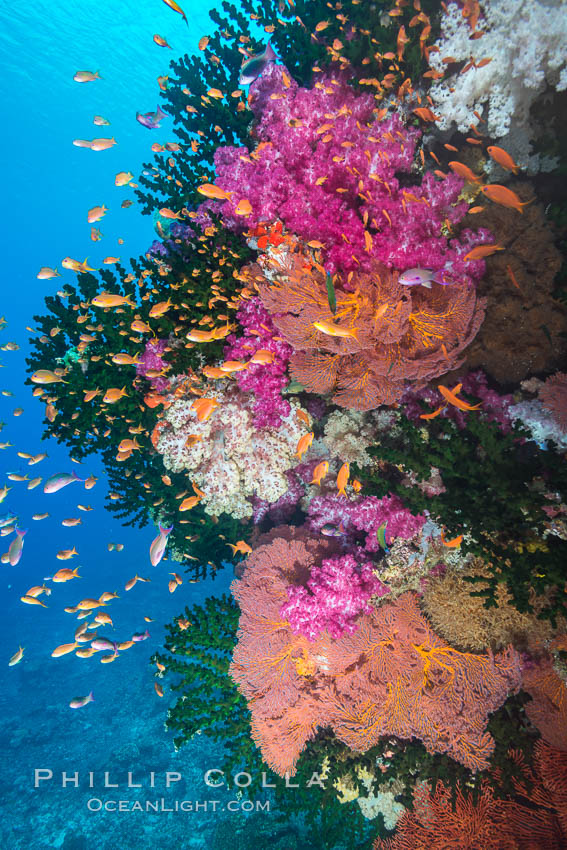 Beautiful South Pacific coral reef, with gorgonian sea fans, schooling anthias fish and colorful dendronephthya soft corals, Fiji., Dendronephthya, Pseudanthias, Gorgonacea, Tubastrea micrantha, natural history stock photograph, photo id 31623