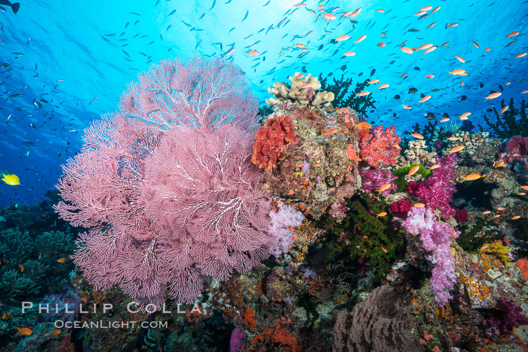 Beautiful South Pacific coral reef, with Plexauridae sea fans, schooling anthias fish and colorful dendronephthya soft corals, Fiji. Namena Marine Reserve, Namena Island, Dendronephthya, Pseudanthias, Gorgonacea, Plexauridae, natural history stock photograph, photo id 31321